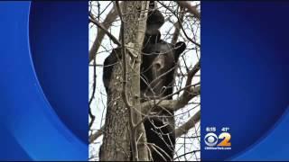 Mother Bear Teaches Cubs To Climb Trees In N.J. Neighborhood