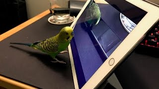 How Kiwi the Talking Budgie learns from Siri