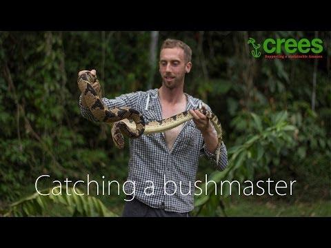 Catching a bushmaster