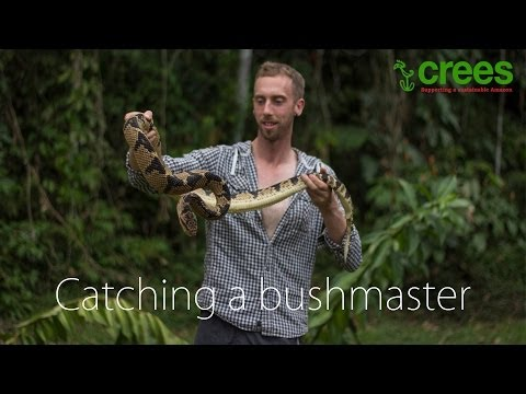 Catching a bushmaster