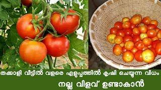 തക്കാളി കൃഷിയിൽ ഇരട്ടി വിളവ് എങ്ങനെ നേടാം Tomato Farming Tips