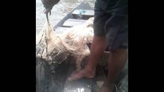 o camarão gigante da malazia