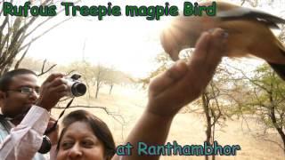 Ranthambhore Rufous Treepie Fly Robin Fly.avi