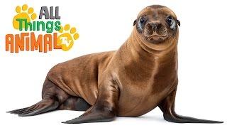 SEA LIONS: Animals for children. Kids videos. Kindergarten | Preschool learning