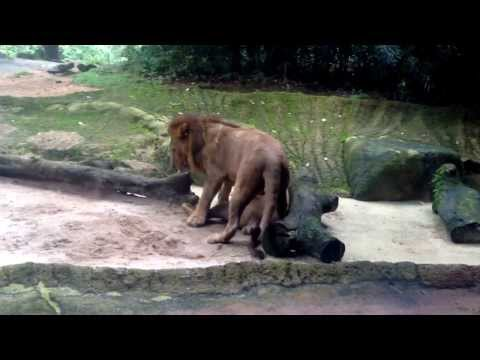 Singapore Zoo gay lions..^^*