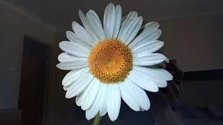 Daisy Flower/Gol-e Mina/Persian/Iranian/Abdulbaha/Song/گل مینا