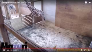LIVE STREAM   Animal Adventure Park Cam April The Giraffe Giving Birth