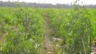 Acacia dengan Plant Activator. 081378687999