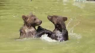 Young bears boxing in the water, mother bear, father bear