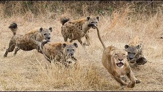 الحياة البرية   الضباعُ تُحاصرُ الأسودَ و النمور و تقف معها النّد للند  !!