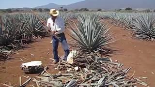 Agave Harvesting
