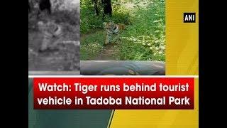 Watch: Tiger runs behind tourist vehicle in Tadoba National Park - #Maharashtra News