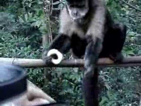 macaco muito inteligente