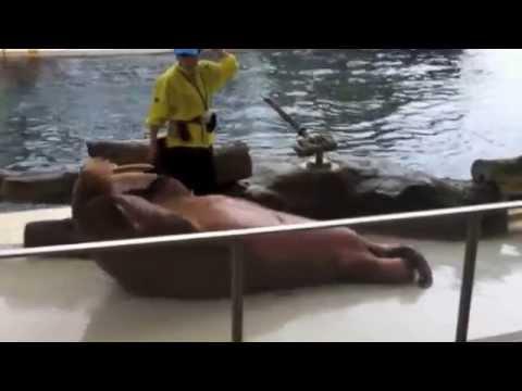 Xxx Mp4 Walrus Doing Sit Ups Crunches Exercise 17 Sec Vid 3gp Sex