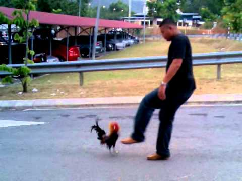 Ayam Hutan Gangster.3gp