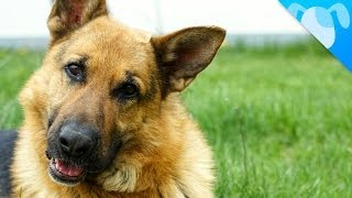 German Shepherd Facts
