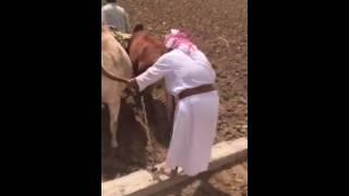 حرث المزارع بالثيران