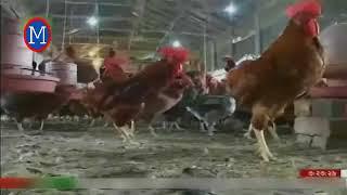 মুরগির খামার কিভাবে শুরু করবেন | Poultry Farming in Bangladesh