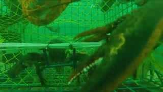 ROCK LOBSTAH: GoPro meets Lobster Trap