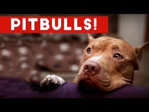 Funny Pitbull Compilation 2017 Best Funny Pitbull Videos Ever