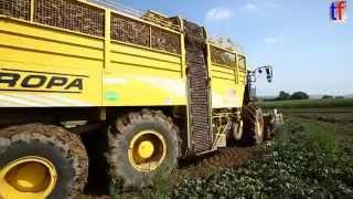 **MIGHTY** Beet Harvester / Rübenernter ROPA euro Tiger V8.4, Weiler zum Stein, Germany, 2014.