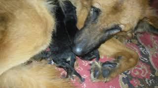 السر وراء ان الكلبه ممكن تأكل اولادها / حقيقه لم تعرفها من قبل .احترس لكى لاتقع فى الخطأ