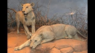 أشرس الكائنات   مفترساتٌ شرسة تشتهي لحومَ البشر !!