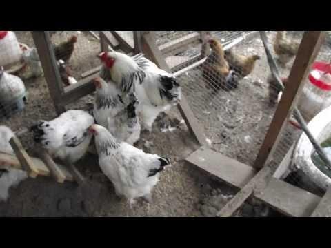 Выращивание кур брама в домашних условиях 46