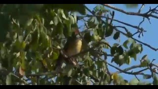 Safari Live Clips- Olive Thrush