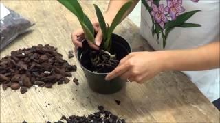 Transplanting Cattleya Orchids to 5 inch Pot - Akatsuka Orchid Gardens