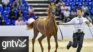 Dubai International Arabian Horse Fair: A parade of stunning horses