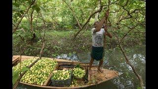 বরিশালের পেয়ারার বাগান ও ভাসমান পেয়ারার বাজার পর্ব ১ ।  Floating guava market part 01