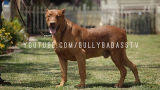 DOBERMAN PINSCHERS CANE CORSOS DOGO ARGENTINOS BANDOGGES CANIS PANTHERS