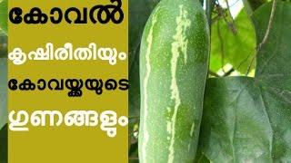 കോവൽ കൃഷിരീതിയും കോവയ്ക്കയുടെ ഗുണങ്ങളും ivy gourd Cultivation Tips