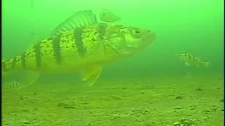 lake Simcoe JUMBO PERCH!! LX9