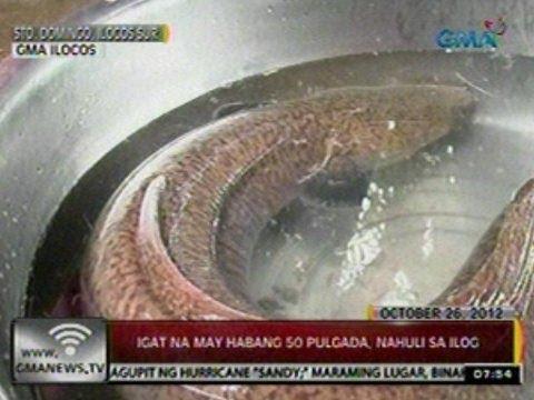 24Oras Igat na may habang 50 pulgada nahuli sa ilog sa Sto. Domingo Ilocos Sur