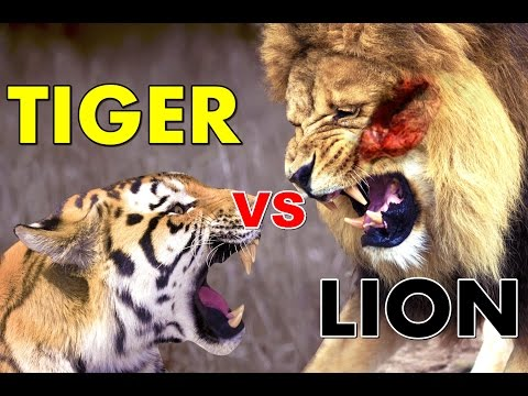 watch Lion vs Tiger Real Life - Fight To Death - Who Would Win?