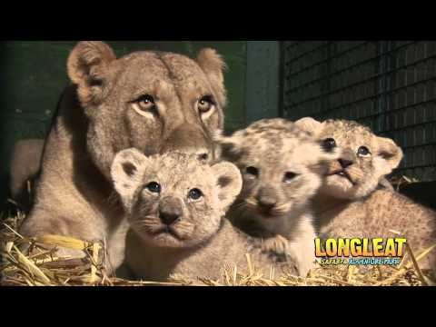 Xxx Mp4 Longleat Lion Cubs At Four Weeks Old 3gp Sex