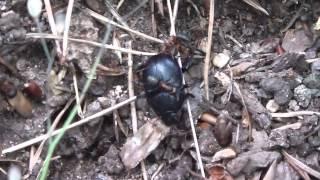 Ameisen transportieren großen Käfer