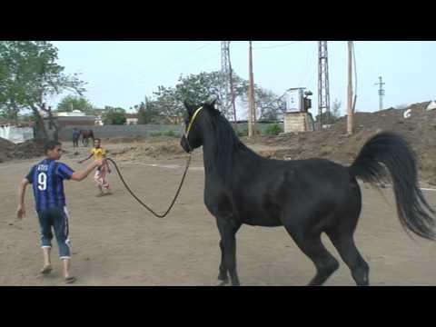 مربط مهنا - خيول عربية