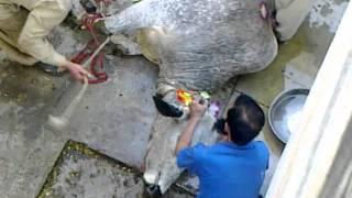 eid-ul-azha (nabeel malik gari shahu cow 4 2011)