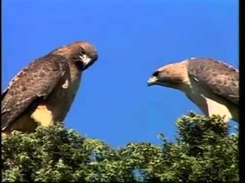 Mundo Selvagem Aves de Rapina HD