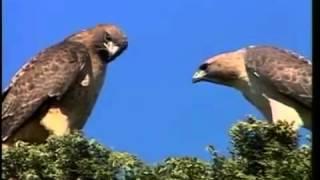 Mundo Selvagem - Aves de Rapina HD