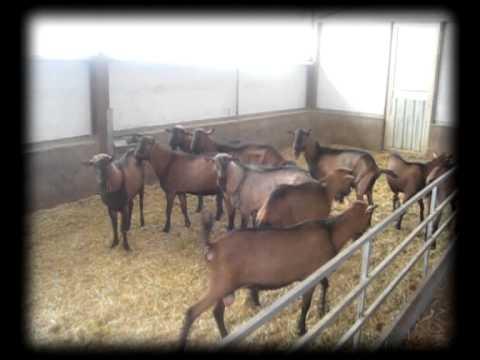 Explotación Caprina Fazenda de Cabras Nietos de Tomás el pastor