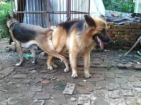 Xxx Mp4 German Shepherd Mating 3gp Sex