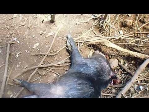 caçada de porco quexada na reserva