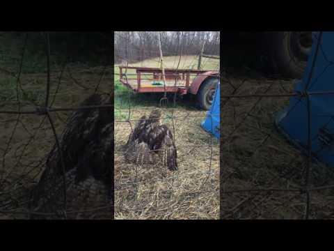 Xxx Mp4 Red Tailed Hawk Stuck In Chicken Netting 3gp Sex