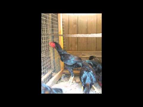 gallos de 1 4 a redonda austin texas