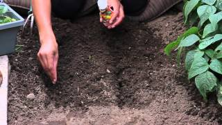 How to Start Marigolds From Seeds : The Chef's Garden