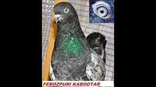 FEROZPURI KABOOTAR-PIOGENS-BANKAY